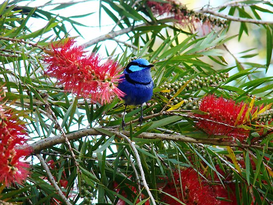 Bottle brush Blue Wren by Coralie Plozza