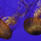 Jellies by dale427