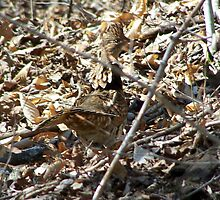Camoflaged Ruffed Grouse by RLHall