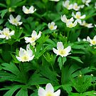 Wood anemones by Elena Elisseeva