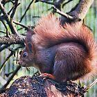 Red Squirrel by Susie Peek