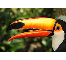 Portrait of a Toco Toucan at Iguassu, Brazil  Photographic Print
