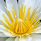 White Waterlily by Robyn Carter