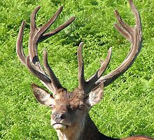 Red Deer Stag by Wulfrunnut