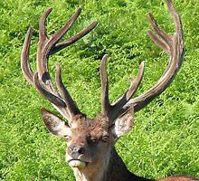 Red Deer Stag by Wulfrunnut