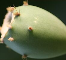 Prickly Pear by Louise Green