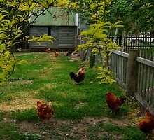 Chook Yard by Joe Mortelliti