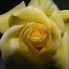 perfect yellow rose by leighart