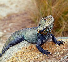 Eastern Water Dragon by Steve Broadley