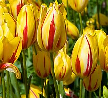 Tulips in full glory by tony1014