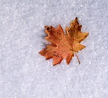 Maple on Snow by mymamiya