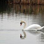 Swan........... by lynn carter