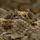 Rattleless Rattlesnake! by Steve Bulford