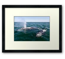 Gray Whale Mum and Calf Framed Print