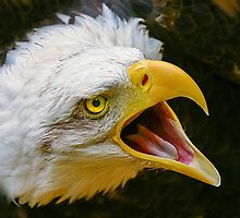 Bald Eagle Scream by Dave  Knowles