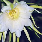 Red Dragon-Fruit Flower Bloom by Kerryn Madsen-Pietsch