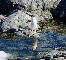 Reflecting Penguin by Clare McClelland