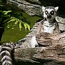 Lemur In Repose by Jan Cartwright