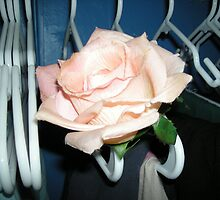 peaking rose - out of white hangers  by candace lauer