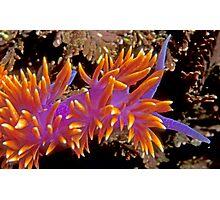 Spanish Shawl. (Flabellina iodinea) Santa Cruz Island, CA Photographic Print