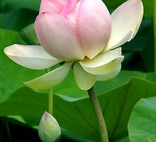 Lotus Flower by Leeo
