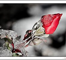 Frozen Rose I by Kelly Sereda