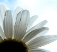 Backlit Daisy by xPressiveImages