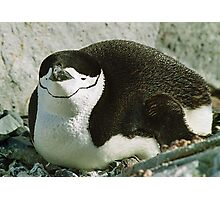 Chinstrap Penguin Photographic Print