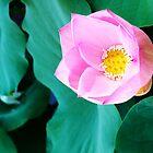 Lotus in Macau by hinting