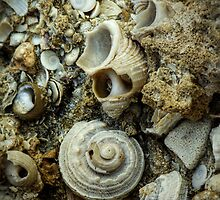 FOSSILIZED SHELLS by alistair mcbride