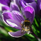 Honey bee on purple crocus by allisond