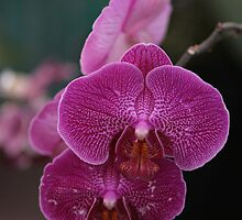 Beautiful PurpleOrchid by Ismail Basymeleh