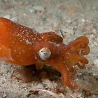 Southern Bottletail Squid, Camp Cove, Sydney Harbour by Erik Schlogl