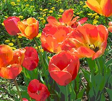 Tulip Patch by Mary Kaderabek-Aleckson