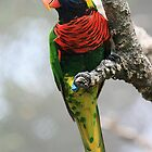 Lorikeet by darthdrew