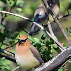 Cedar Waxwings by Carl Olsen