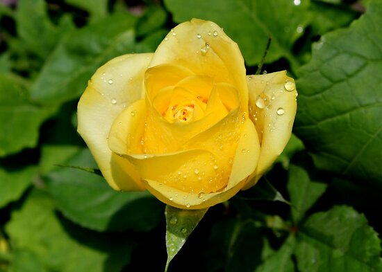 Teardrops on Roses by AnnDixon