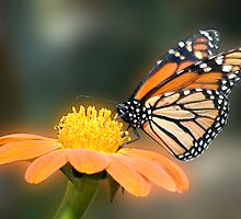 Monarch Butterfly closeup  by Eyal Nahmias
