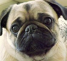 Pepe the Pug by Bill Lighterness