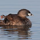 Where's Timmy? - Pied-billed Grebe by Jim Cumming