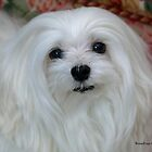 Snowdrop the Maltese by Morag Bates