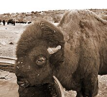 Buffalo Bill by diffusion