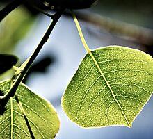 back-lit leaf by Martin Pot