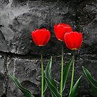 Five Tulips by zeebuzz