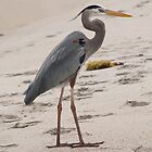 Great Blue Heron by dewinged