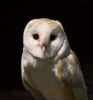 Barn Owl Portrait by SWEEPER