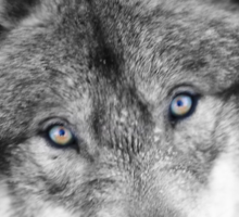 Wolf Eyes - Timber Wolf Sticker