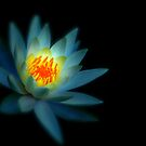 Lotus Glow by Douzy
