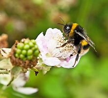 Bee on Blackberry Flower by Nick Jenkins