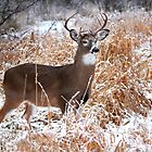 A Regal Stance - White-tailed deer Buck by Jim Cumming